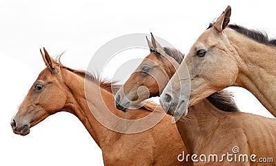 Akhal-teke horse and foal