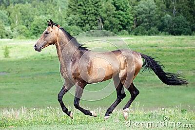 Akhal-Teke horse gallops in field