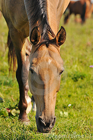 Free Akhal-teke Horse Grazing Stock Photos - 11014123