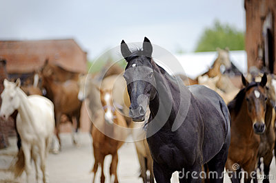 Akhal-teke horse with herd behind