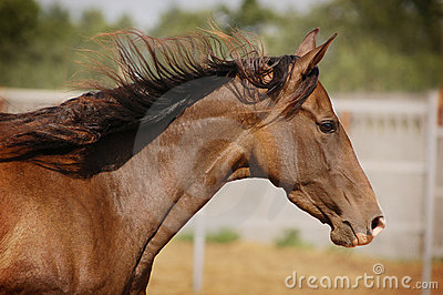 Akhal-teke horse portrait