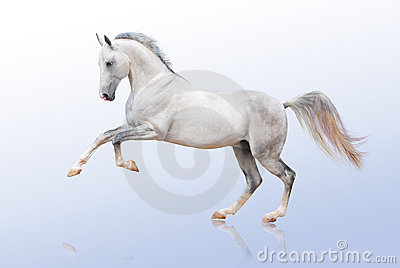 Akhal-teke horse on white