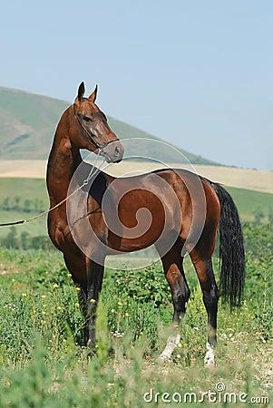 Akhal-Teke stallion and the mountains