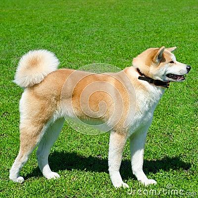 Free Akita Dog Stock Photo - 43138930
