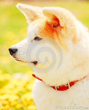 Free Akita Dog (Akita Inu, Japanese Akita) Stock Photography - 41174102