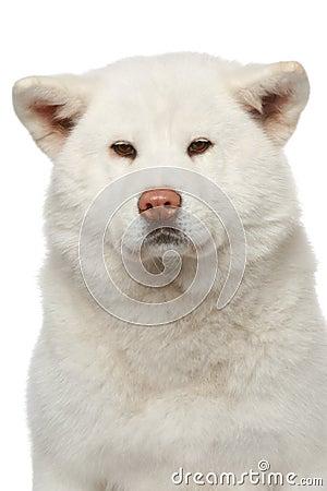 Akita inu dog. Close-up portrait