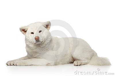 Akita inu dog lying on white background
