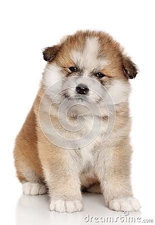 Akita-inu puppy