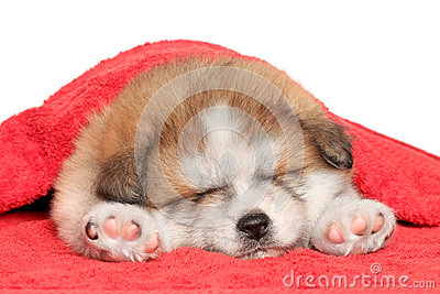 Akita inu puppy sleep under blanket