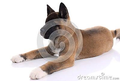 Akita purebred puppy