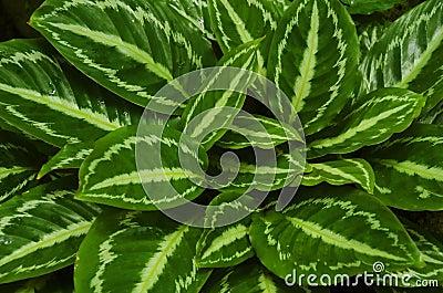 Aksamitowów liści tło