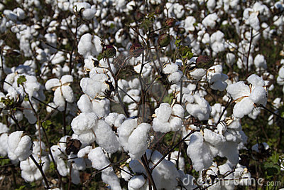 Alabama Limestone County Cotton Crop