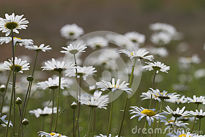 Alabama Oxeye Daisy Wildflower Field