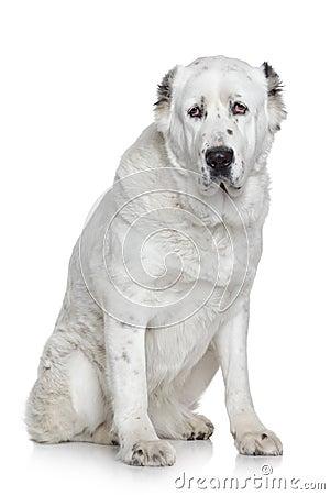 Alabay dog portrait