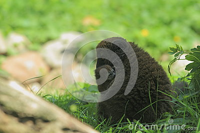 Alaotran gentle lemur