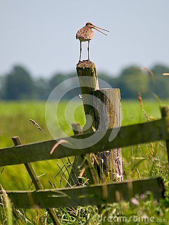Alarming Black-tailed Godwit