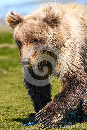 Free Alaska Baby Brown Bear Cub Walking Near Water Stock Image - 68552781