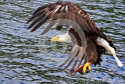 Alaska Bald Eagle with a Fish 2