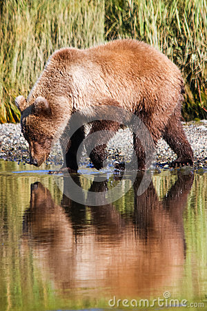 Free Alaska Brown Grizzly Bear Drinking Water Reflection Stock Photos - 68552873