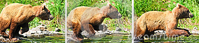 Alaska Brown Grizzly Bear Fishing Leaping Attack
