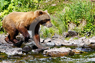 Alaska Brown Grizzly Bear Looking for Salmon