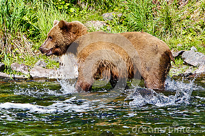 Alaska Brown Grizzly Bear Salmon Splashing