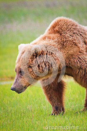 Free Alaska Brown Grizzly Bear Shoulder Hump Stock Image - 28071371