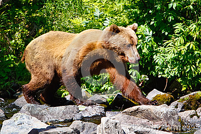 Alaska Brown Grizzly Bear Walking