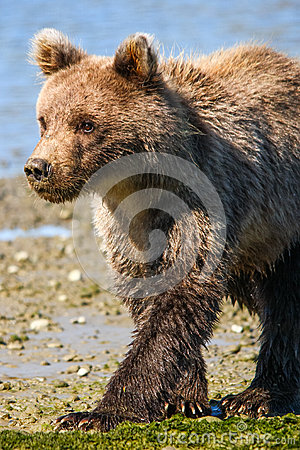 Free Alaska Cute Baby Brown Grizzly Bear Cub Walking Royalty Free Stock Photography - 68552787