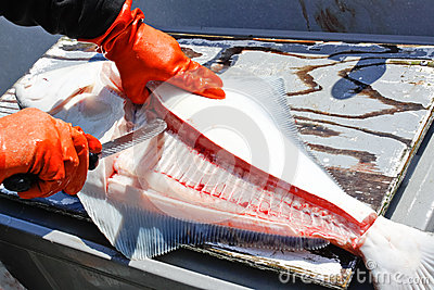 Alaska Fresh Halibut Fish Cleaning