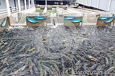 Alaska macaulay salmon hatchery juneau editorial image for Criar tilapias en estanques