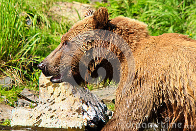 Alaska - Magnificent Brown Grizzly Bear