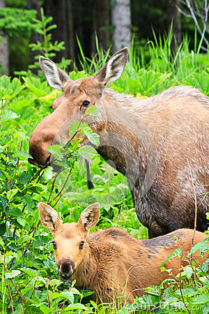 Free Alaska Moose And Young Calf Feeding Stock Images - 28071434