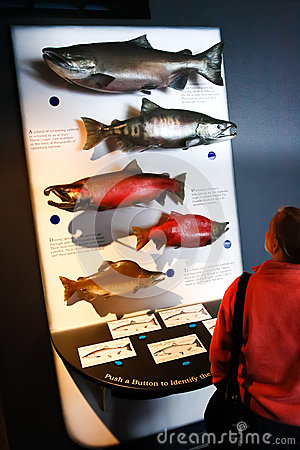 Alaska Sea Life Center Pacific Salmon Display Editorial Image