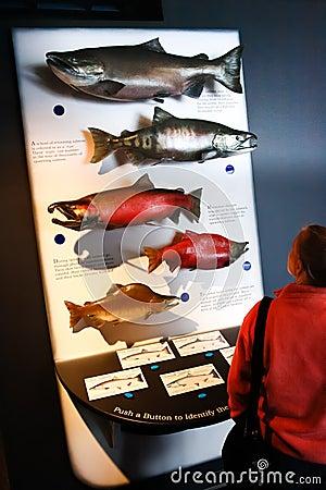 Alaska Sea Life Center Pacific Salmon Display Editorial Image