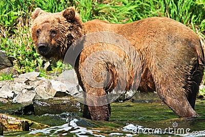 Alaska Wet Brown Grizzly Bear