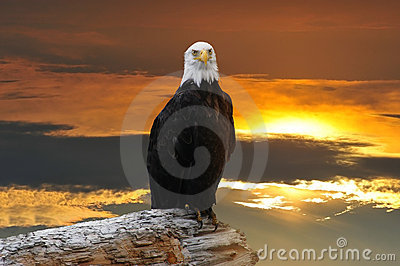 Alaskan Bald Eagle at sunset