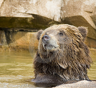 Alaskan Brow Bear Royalty Free Stock Images - Image: 9654419