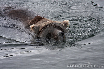 Alaskan Brown Bear Royalty Free Stock Photo - Image: 21318155
