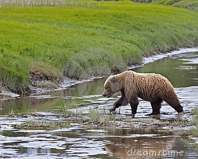 Alaskan brown bear crossing creek