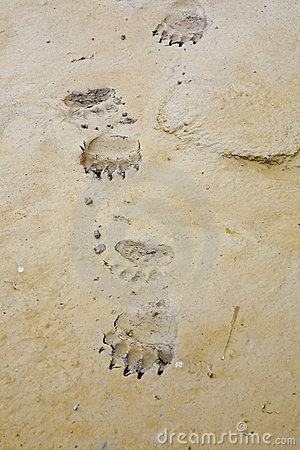 Free Alaskan Brown Bear Tracks Grizzly Royalty Free Stock Image - 12598116