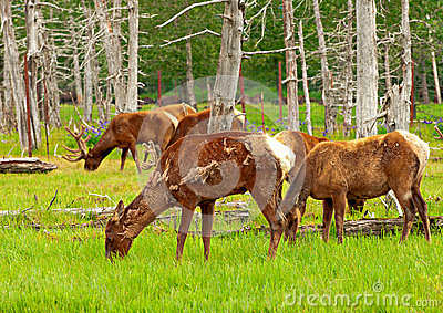 Alaskan deer