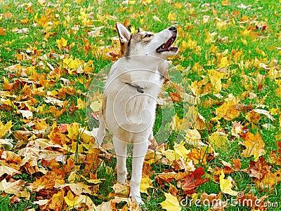 Alaskan dog.