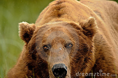 Alaskan Grizzly Bear Portrait