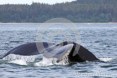 Alaskan Humpback Whale Tail near Juneau