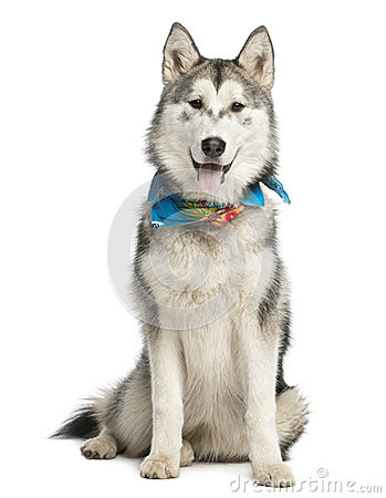 Alaskan Malamut wearing a blue scarf, sitting and panting Stock Images