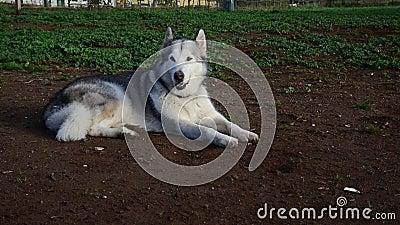 Alaskan malamute dog, die gelukkig loopt in het park stock videobeelden