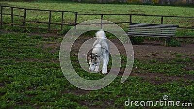Alaskan malamute dog, die gelukkig loopt in het park stock footage