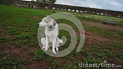 Alaskan malamute dog, die gelukkig loopt in het park stock video