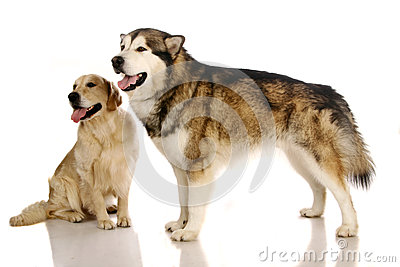 Alaskan malamute dog and golden retriever